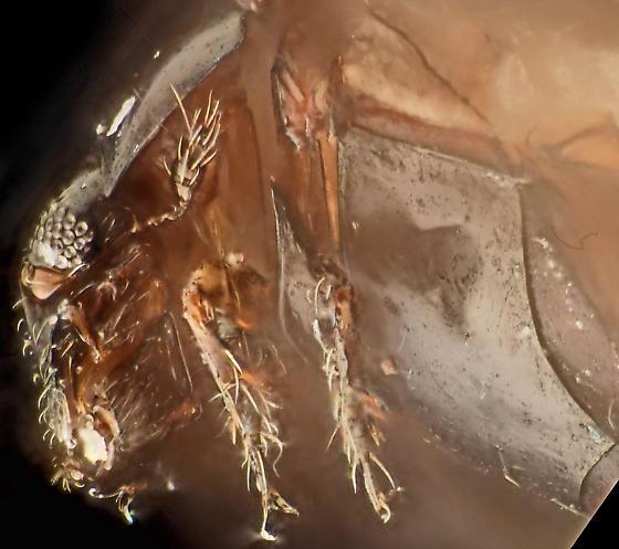 Specimen 3, lateral close (left palp missing) - Sphaerius