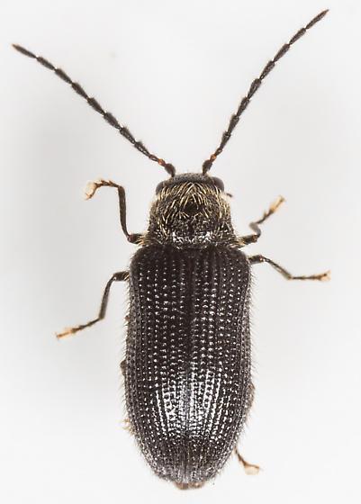 Beetle - Eurypogon niger
