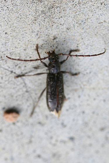 Longhorn Beetle - Parelaphidion aspersum