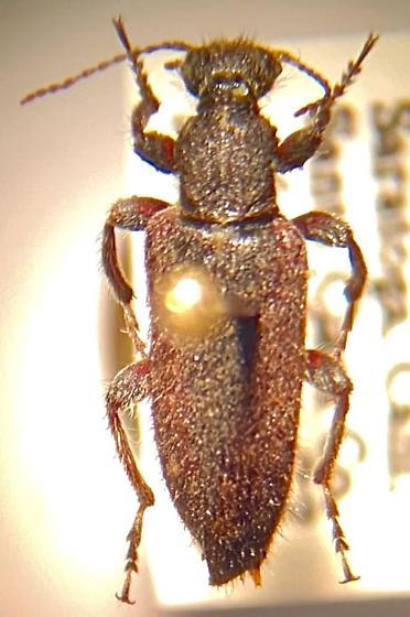 Calif beetle - Retocomus