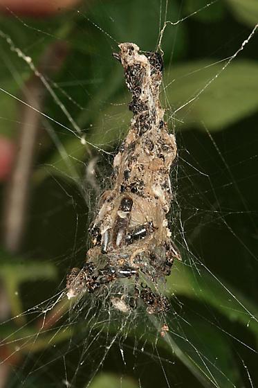 spider with retreat - Metepeira grandiosa - female