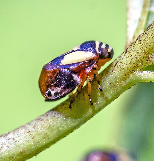 hopper - Clastoptera proteus