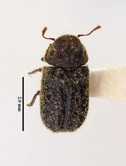 Maybe Anobiinae? - Endecatomus rugosus