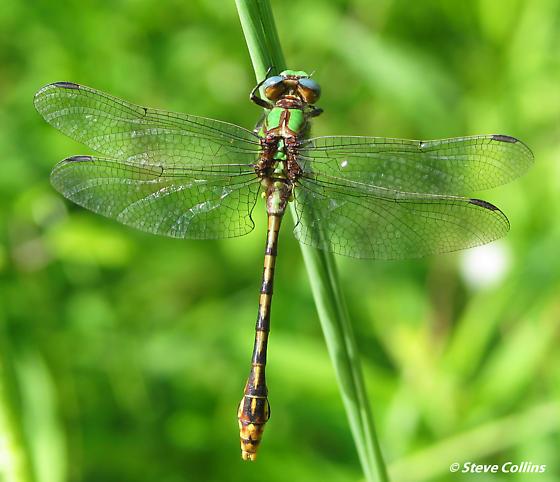 Ophiogomphus incurvatus incurvatus. - Ophiogomphus incurvatus - male