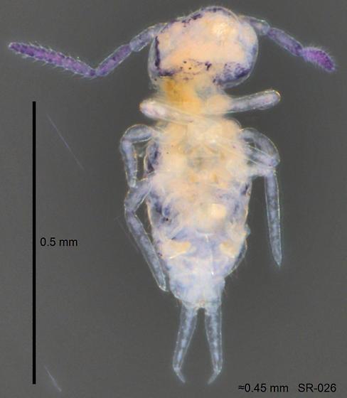 Bourletiellidae (?) - SR-026 - Bourletiella gibbonsi