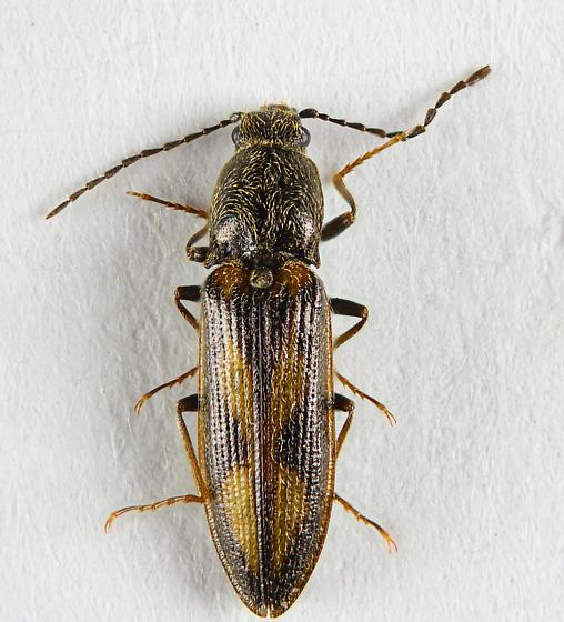 Nice clicker - Liotrichus umbripennis