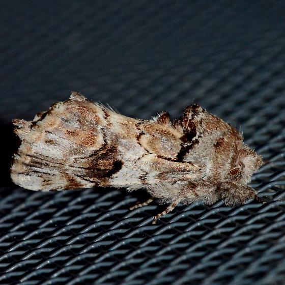 Plain Schizura - Schizura apicalis