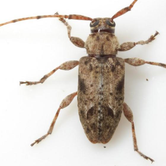 Sternidius - Sternidius mimeticus