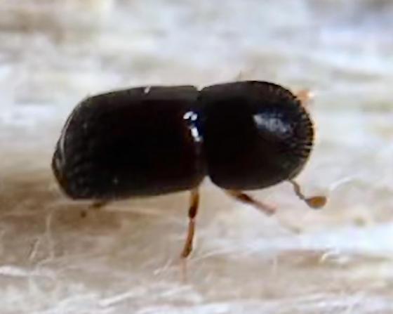beetles boring out of golden rain tree: Koelreuteria paniculata - Xylosandrus germanus