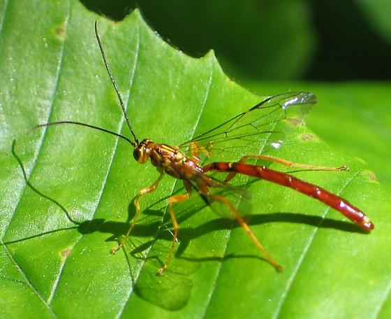 Giant Ichneumon - Megarhyssa greenei - male