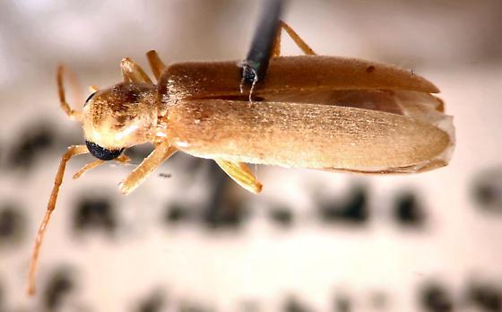 Old Beetle - Xanthochroa testacea