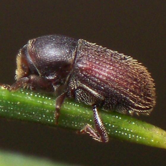 Quite Unknown Whatsit - Cnesinus strigicollis