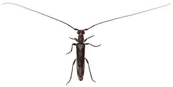 Styloxus bicolor? - Styloxus bicolor