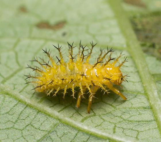 yellow spiked larva? - Epilachna varivestis