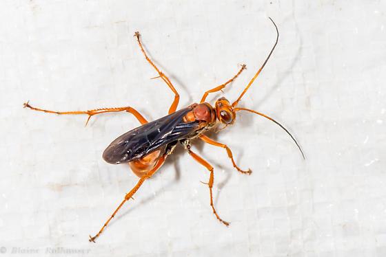 Vespid - Priocnessus nuperus - female