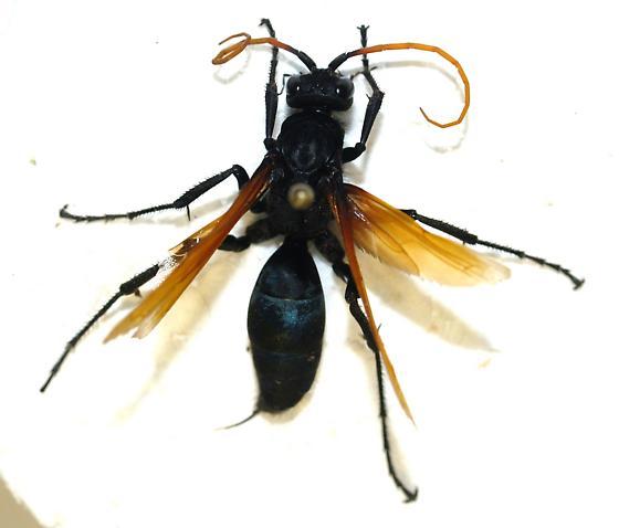 Pepsinae with yellow antennae - Hemipepsis toussainti - female