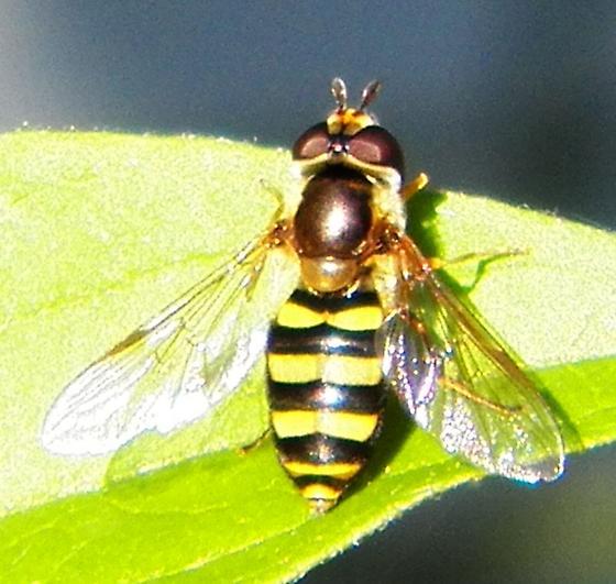 Syrphidae ? - Eupeodes