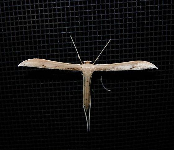 Plume Moth species (large) - Hellinsia balanotes