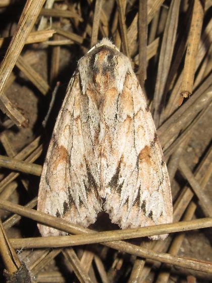 Andropolia theodori