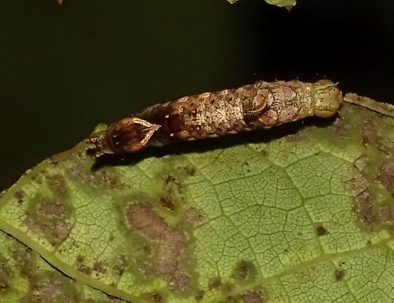 Unknown caterpillar - Oligocentria semirufescens
