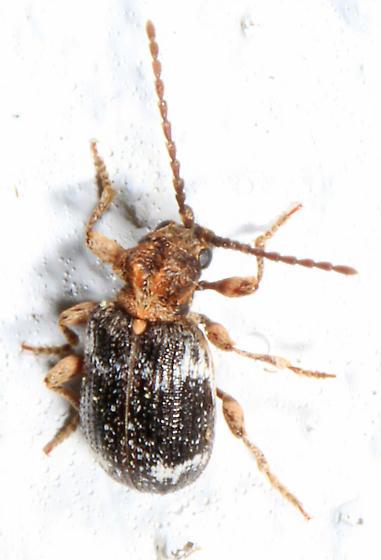 tiny beetle - Fungus Weevil? - Ptinus variegatus