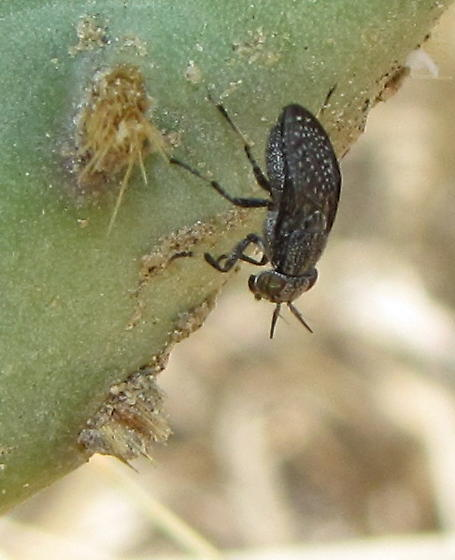 Cactus picture-winged fly - Stictomyia longicornis