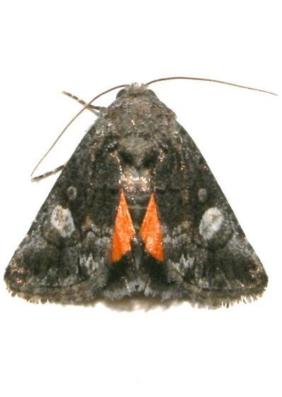 Moth, Copanarta aurea? - Copanarta aurea