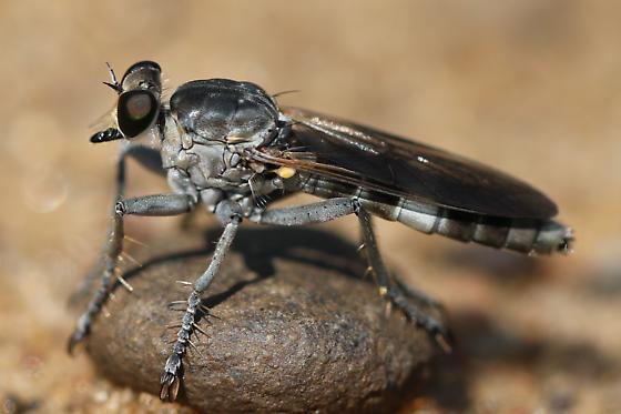 Stichopogon trifasciatus  - Stichopogon trifasciatus