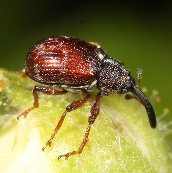 Reddish weevil on blackberry bud - Anthonomus