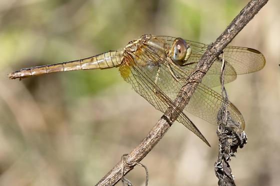 Scarlet SKimmer - Crocothemis servilia - female