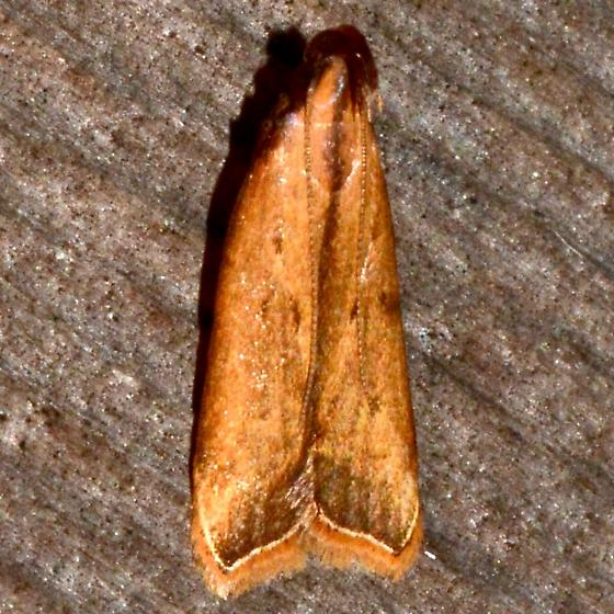 Black-edged Dichomeris - Dichomeris heriguronis