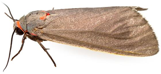 Female, Pygarctia murina? - Pygarctia murina - female