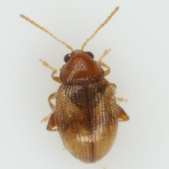 Epitrix fasciata Blatchley - Epitrix fasciata