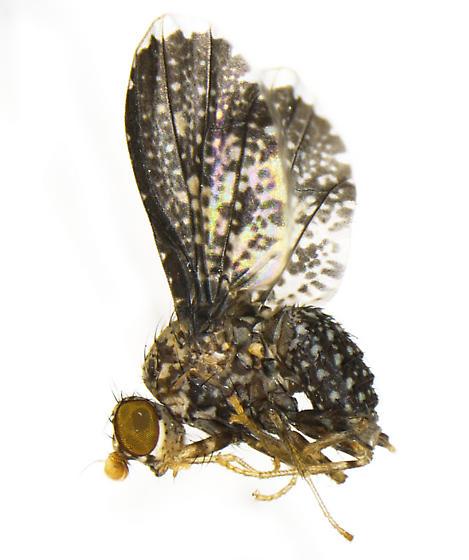 Trypetisoma eutretoides Arnaud - Trypetisoma eutretoides - female