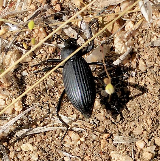 Eleodes beetle, NV sagebrush country - Eleodes hispilabris