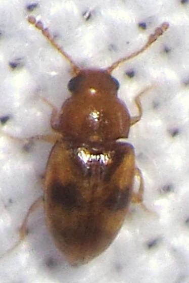 Unknown Beetle 2 - Toramus pulchellus