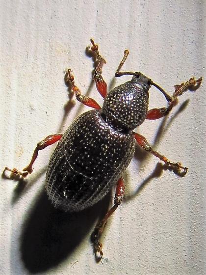 Otiorhynchus cribricollis? - Otiorhynchus cribricollis