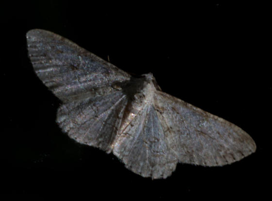 Iridopsos fragilaria - Iridopsis fragilaria