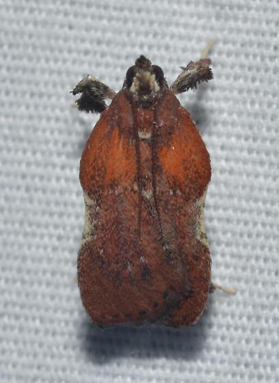 Galasa nigrinodis – Boxwood Leaftier Moth - Galasa nigrinodis