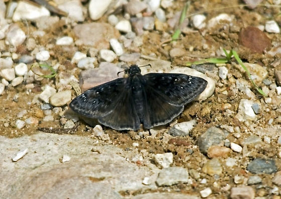 Erynnis meridianus - Meridian Duskywing - Erynnis meridianus - male