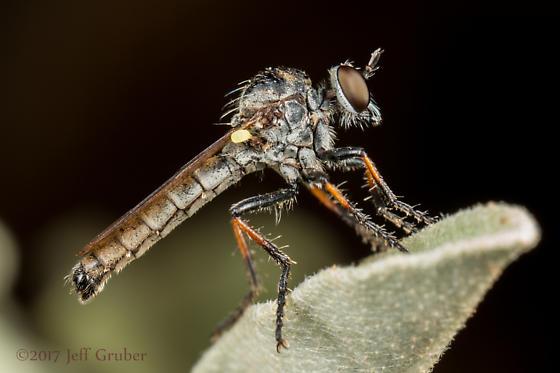 Asilid - Cophura pollinosa - male