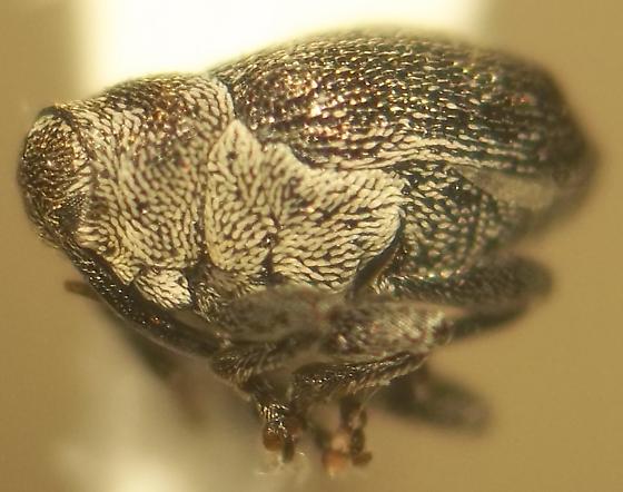 Ceutorhynchus septentrionalis Gyllenhall - Ceutorhynchus typhae