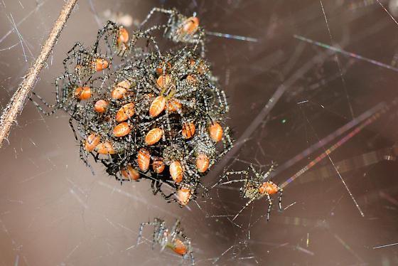 Spider hatch - Peucetia viridans