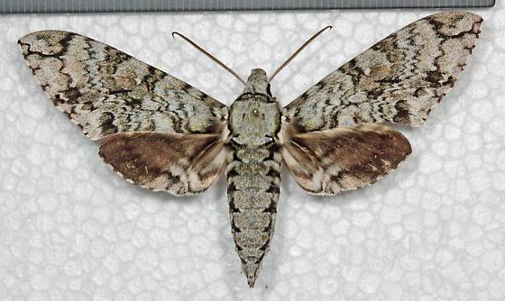 Sphingidae - Manduca florestan