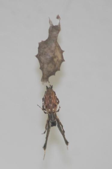 Spider with egg sac - Uloborus glomosus - female