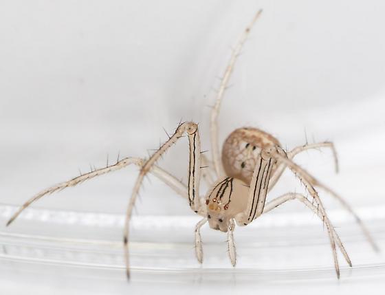Spider - Mimetus epeiroides - male