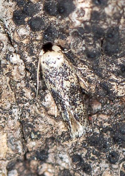 moth that blends into oak tree bark very well - Zimmermannia bosquella