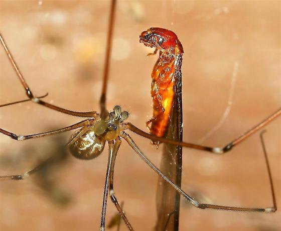 Cellar Spider - Holocnemus pluchei