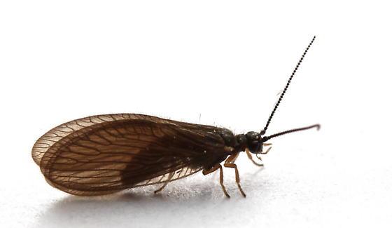 Sisyra nigra