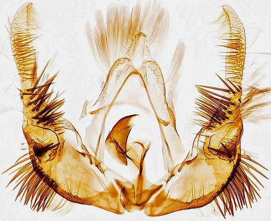genitalia - Celypha cespitana - male